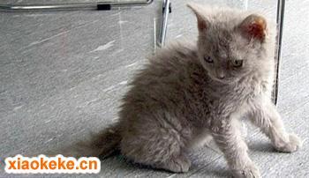 塞尔凯克卷毛猫图片