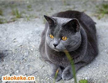 沙特尔猫图片