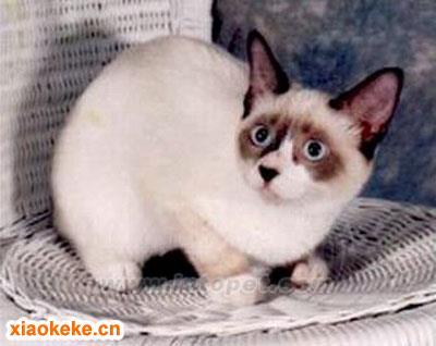 雪鞋猫图片