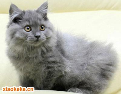 英国长毛猫图片