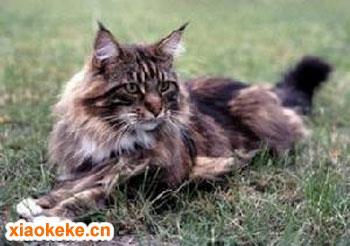 缅因猫图片