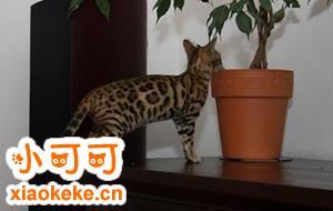 热带草原猫有什么特征 萨凡猫特征介绍