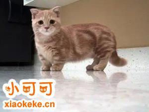 曼基康猫一般要价多少 曼基康猫多少钱