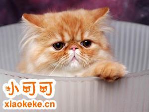 喜马拉雅猫怎么看纯不纯 喜马拉雅猫选购技巧