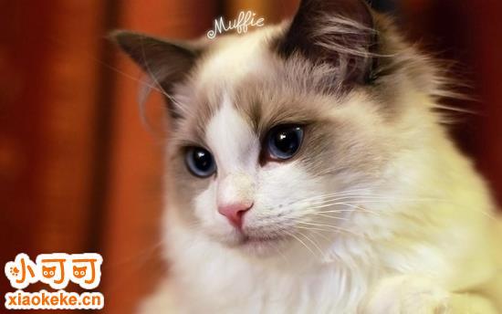 布偶猫多少钱一只 布偶猫价格一览