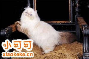 喜马拉雅猫多少钱一只 喜马拉雅猫价格