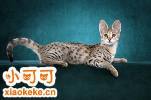 热带草原猫多少钱 萨凡猫价格