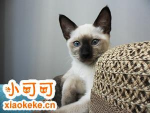 暹罗猫怎么看纯不纯 暹罗猫品相特点介绍