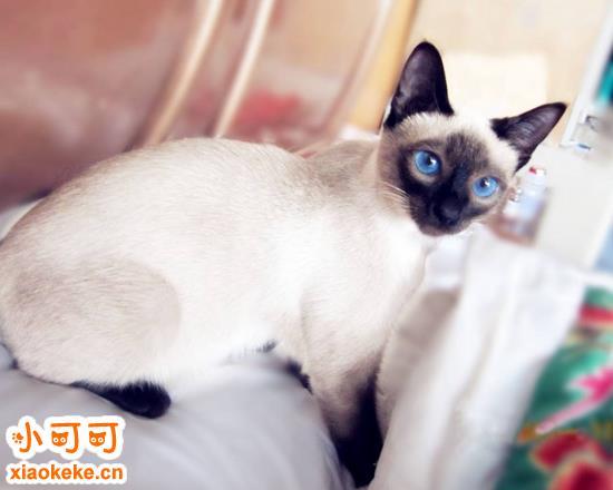 暹罗猫寿命多久 暹罗猫寿命介绍