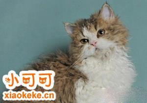 塞尔凯克卷毛猫怎么看纯不纯