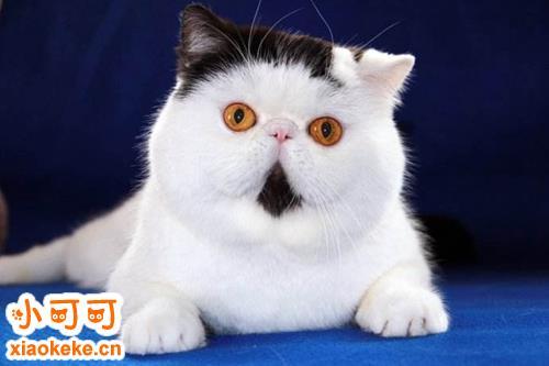 如何辨别纯种猫还是杂种猫
