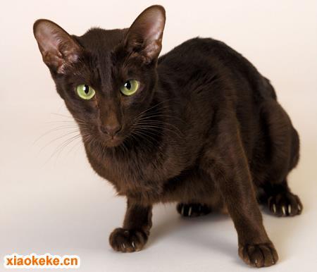 暹罗猫图片