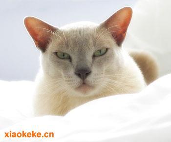 欧洲缅甸猫图片