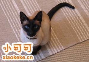 暹罗猫怎么驱虫 暹罗猫适合驱虫年龄
