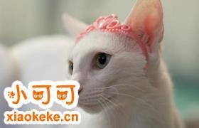 东方猫贫血怎么办 东方猫贫血解决办法