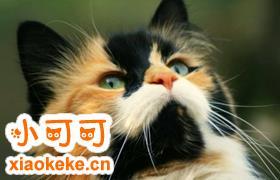 怎么给马恩岛猫测血压 马恩岛猫测血压方法