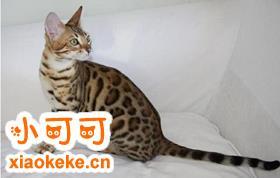 热带草原猫得了猫癣怎么治疗 猫癣治疗方法