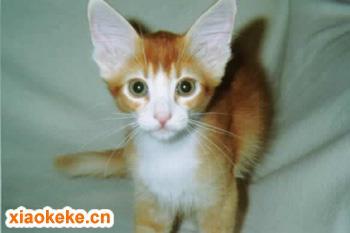 拉邦猫图片