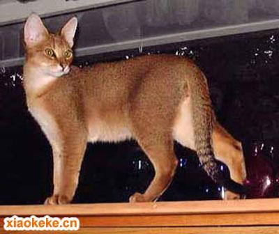 非洲狮子猫图片
