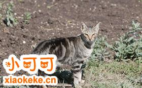 肯尼亚猫怎么养 肯尼亚猫喂养技巧