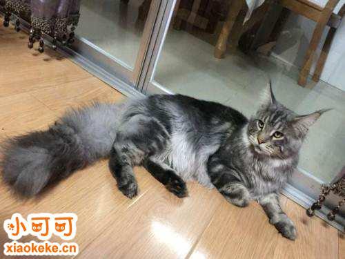 缅因猫性格好吗 缅因猫性格特点介绍
