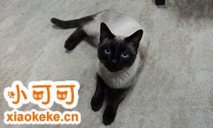 暹罗猫吃什么猫粮 暹罗猫喂养指南