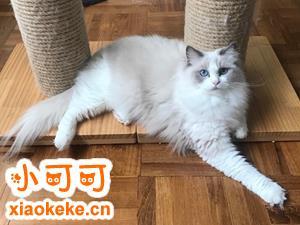 布偶猫怎么养 布偶猫饲养经验