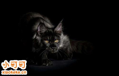 缅因猫不能吃什么 缅因猫绝对不能吃的食品