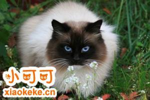 暹罗猫饲养必备用品有哪些 饲养暹罗猫必备