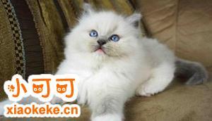 布偶猫怎么清洁毛 布偶猫毛发清洁步骤