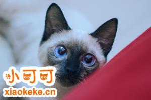暹罗猫美容有什么技巧 暹罗猫美容技巧