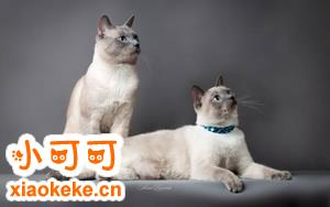 暹罗猫怎么养 暹罗猫饲养方法