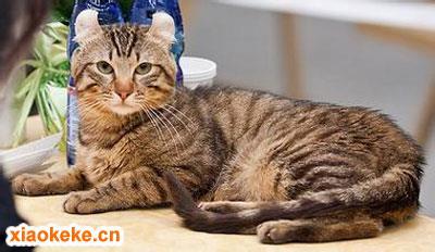 美国卷耳猫图片
