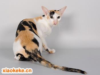 东方猫图片