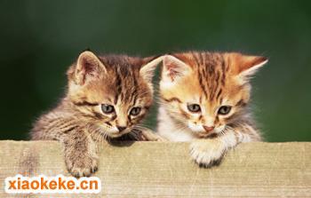 中国狸花猫图片