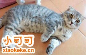 曼基康猫如何训练 曼基康猫正确训练方法