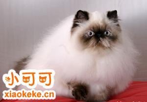 怎么训练喜马拉雅猫不乱抓家具