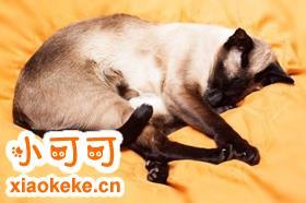 如何训练暹罗猫 4招教你训练暹罗猫
