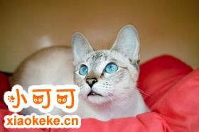 怎么让暹罗猫听话 训练暹罗猫的方法
