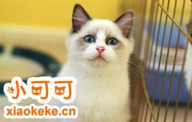 怎么做好布偶猫的训练工作 布偶猫训练必不可少