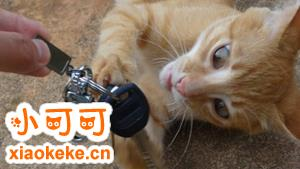 怎么训练猫叼东西 猫咪叼玩具训练法