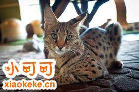 怎么训练热带草原猫用猫砂 幼猫猫砂使用训练方法