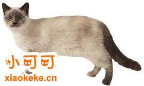 重点色短毛猫怎么训练装死 重点色短毛猫装死训练方法