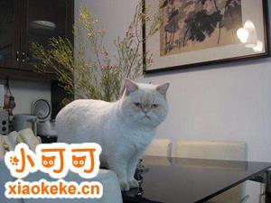 如何训练猫不上桌子 猫咪训练之不上桌子