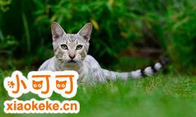 热带草原猫不睡猫窝怎么办 热带草原猫睡猫窝训练