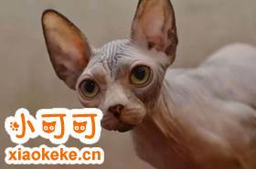 加拿大无毛猫怎么训练 训练猫咪乖巧听话注意事项