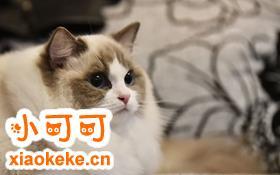 怎么训练布偶猫坐下 布偶猫听从手势训练