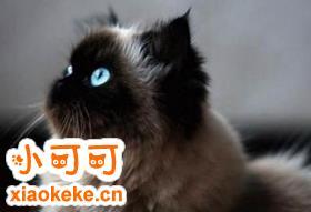 怎么训练喜马拉雅猫睡在猫窝 反复训练养成习惯