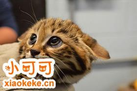 热带草原猫会咬人吗 热带草原猫不咬人训练法