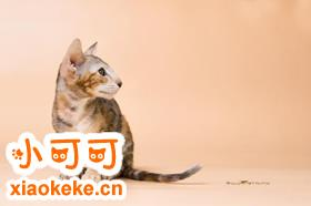 东方猫乱撒尿怎么办 乱撒尿制止方法